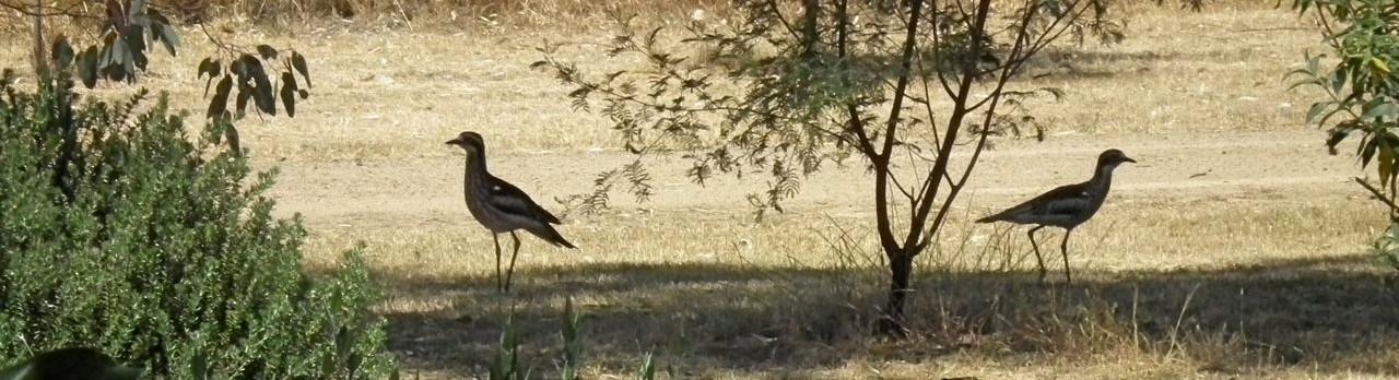 Bush Stone-curlews in Northern Victoria