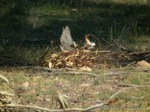 Is this Bush Stone-curlew sitting on eggs?