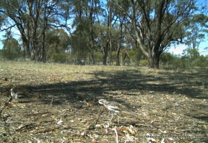 Bush Stone-curlew pair at Miepoll