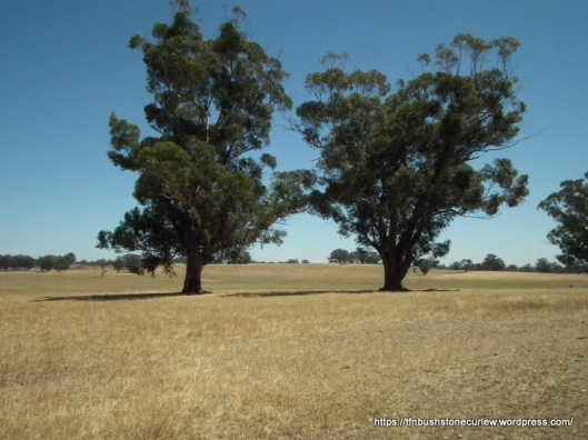 Two large, old Sugar Gums in a paddock near Benalla. In the 1980s this was a Bush Stone-curlew nest site (Andrew Bennett pers. comm.), but has long since been abandoned.